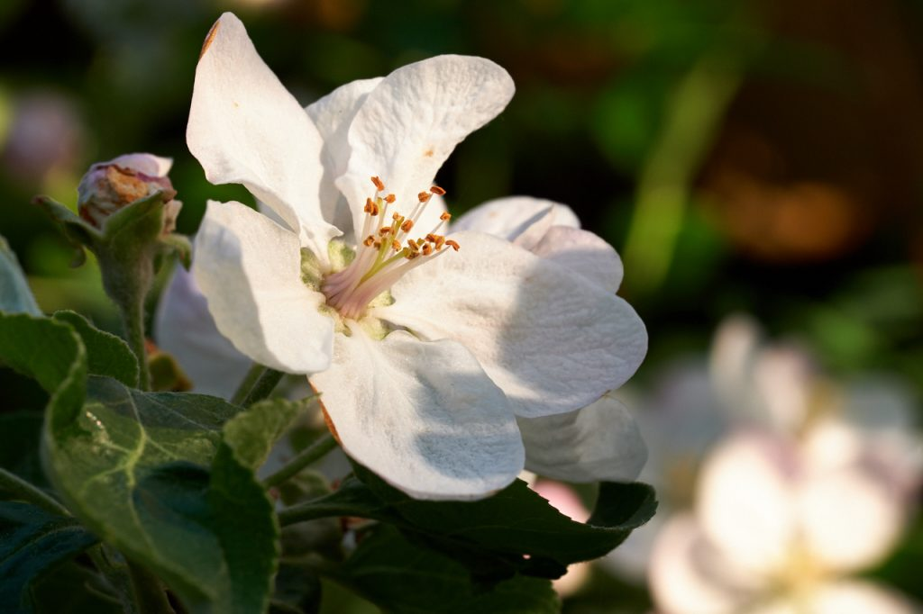 Apple flower at sunset